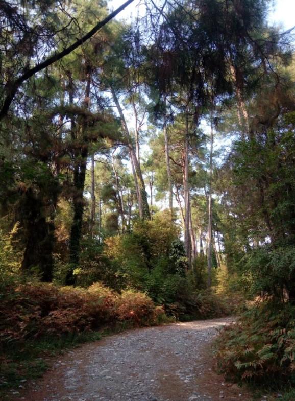 Роща реликтовых сосен - Пицунда